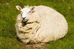 肥胖绵羊 库存照片