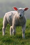 肥胖羊羔 免版税库存照片