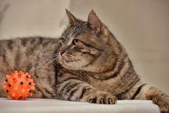 肥胖虎斑猫 库存照片