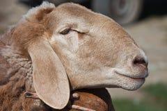 头肥胖被盯梢的绵羊特写镜头 免版税图库摄影