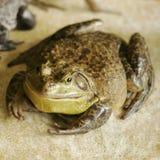 肥胖青蛙 免版税库存照片