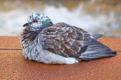 肥胖鸽子 免版税库存照片
