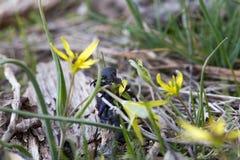 肥胖黑欧洲油甲虫吃花Gagea lutea 昆虫Meloe proscarabaeus可能由毒分泌物损坏皮肤 图库摄影
