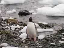 肥胖gentoo企鹅 库存照片