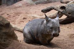 肥胖wombat 库存照片
