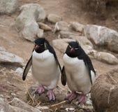 肩并肩两只Rockhopper企鹅 免版税库存照片