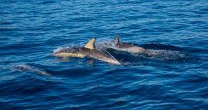 肩并肩游泳两只的海豚 免版税库存图片