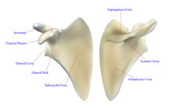 肩胛骨的解剖学 库存图片