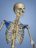 肩胛骨M-SKEL-SCAPULA-ACROMION 16, 3D的肩峰模型 皇族释放例证