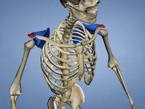 肩胛骨M-SKEL-SCAPULA-ACROMION 3, 3D的肩峰模型 向量例证