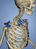 肩胛骨M-SKEL-SCAPULA-ACROMION 14, 3D的肩峰模型 向量例证
