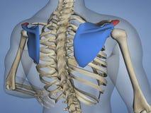 肩胛骨M-SKEL-SCAPULA-ACROMION 5, 3D的肩峰模型 向量例证