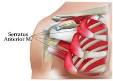 肩膀的解剖学 免版税库存图片