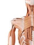 肩膀肌肉 库存例证