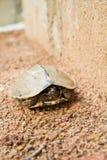 肮脏淡水的乌龟 免版税库存图片