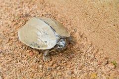 肮脏淡水的乌龟 图库摄影