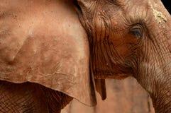 肮脏的大象 免版税库存照片