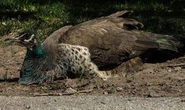 肮脏的孔雀 免版税库存图片