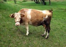 肮脏的母牛本质上 库存图片