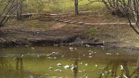 肮脏的池塘在有游泳的鸭子的公园 股票录像