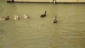 肮脏的河在城市流动 鸭子在净水游泳,并且不吃 河的流程在城市 股票录像