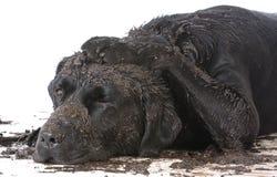 肮脏的泥泞的狗 库存图片