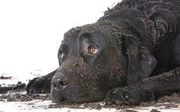 肮脏的泥泞的狗 库存照片