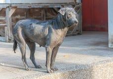 肮脏的流浪狗被收缩的麻疯病身分 免版税库存图片