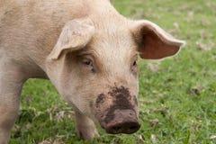 肮脏的猪 库存图片