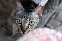 肮脏的猫神色秘密审议 免版税图库摄影