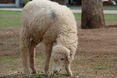 肮脏的白羊 免版税库存图片