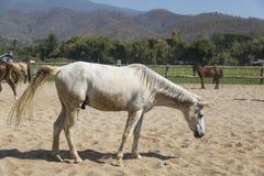 肮脏的白马在放松在沙子槽枥的农场 免版税库存图片