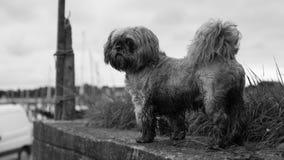 肮脏的老狗 免版税库存图片