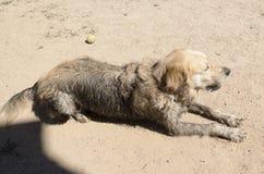 肮脏的金毛猎犬 免版税库存图片