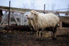 肮脏的绵羊在小牧场 库存照片