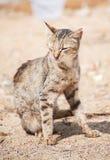 肮脏的离群野生猫画象  免版税库存照片