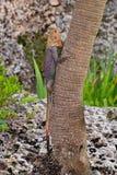 肯尼亚岩石蜥蜴蜥蜴上升的树 库存图片