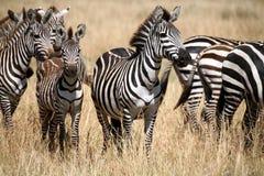 肯尼亚斑马 库存照片