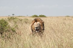 肯尼亚狮子mara马塞人大草原 免版税库存照片