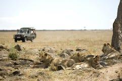 肯尼亚狮子mara马塞语 库存照片