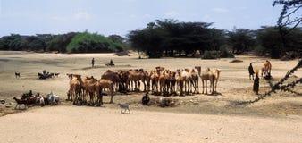 肯尼亚看管turkana 库存照片
