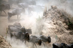 肯尼亚角马 免版税库存图片