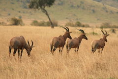 肯尼亚野生生物 免版税图库摄影