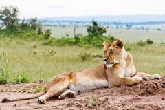 肯尼亚雌狮 免版税库存图片