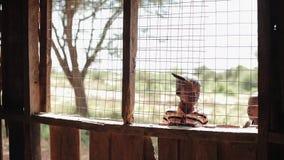 肯尼亚,基苏木- 2017年5月20日:美丽的非洲男孩凝视入房子通过在窗口的格子 股票录像