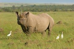 肯尼亚mara马塞人犀牛白色 免版税库存图片