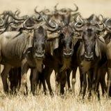 肯尼亚mara马塞人角马 免版税库存图片