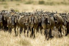 肯尼亚mara马塞人角马 库存照片