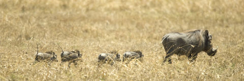 肯尼亚mara马塞人warthog 免版税库存图片