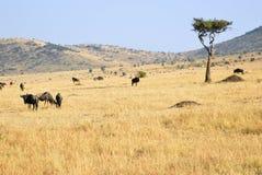 肯尼亚mara马塞语 免版税库存照片